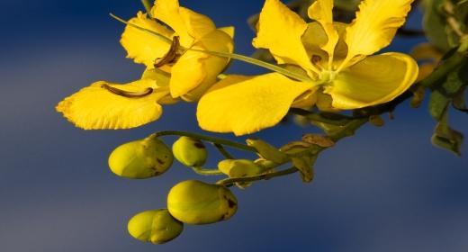 סנה/כסיה מדברית (Cassia senna)