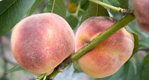 אפרסק מצוי (Prunus persica)