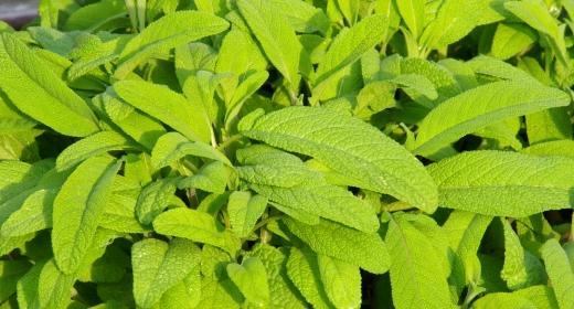 מרווה רפואית (Salvia officinalis)