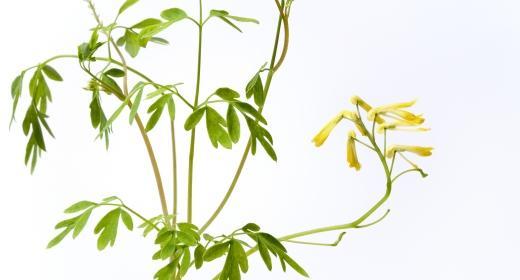 פיגם מצוי/רותה (Ruta chalepensis)