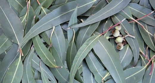אקליפטוס (Eucaliptus globulus)
