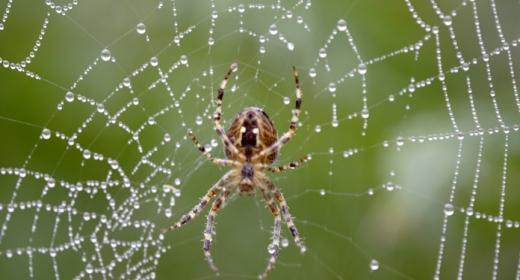 סימבול עכביש ומשמעותו