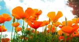 פרחי באך