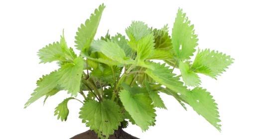 סירפד / סרפד - צמח מרפא בעל סגולות רבות