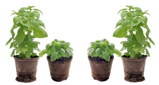 חיים וצמחים: בזיליקום - Basilicum