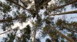 עץ האורן