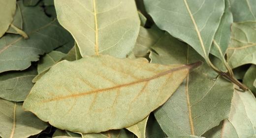 עלי דפנה/ ער אציל (Laurus nobilis)