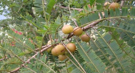 אמאלאקי - התרופה העוצמתית של הטבע
