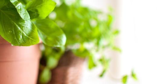סמבוק הוא צמח מיוחד
