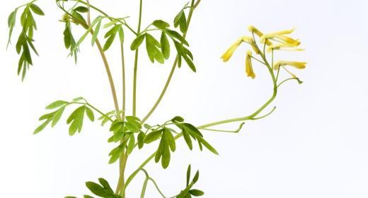 צמח הפיגם - לנוי ומרפא