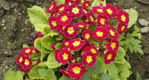 צמחי מרפא – פרימולה