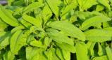 מרווה רפואית(Salvia officinalis)