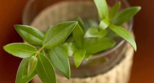 הדס מצוי (Myrtus communis)
